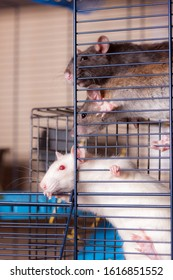 curious domestic rats in a cage close up