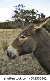 curious donkey behind a wire fence in a dry paddock, looking directly at the camera