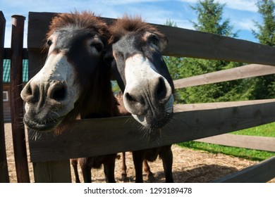 Curious donkeys peek out from the farm pen on a summer day
