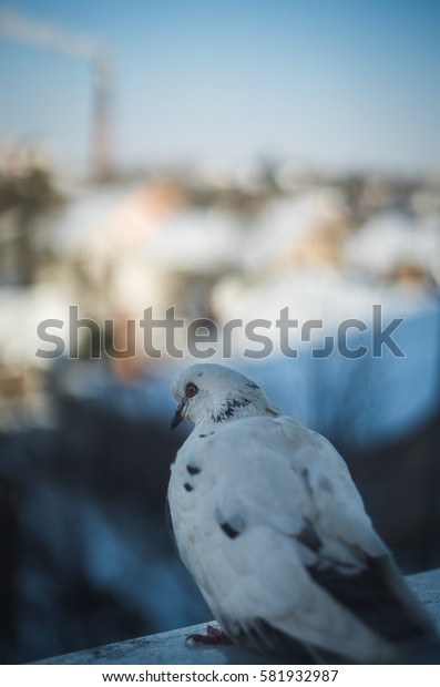 Curious dove looking from the window sill in winter