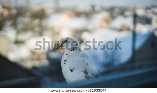 Curious dove looking from the window sill