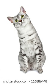 A curious Egyptian Mau cat tilts her head to the left