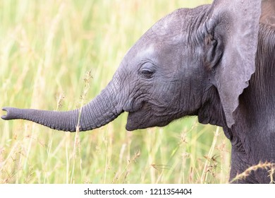 Curious elephant calf playing with his trunk in the grass