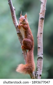 Curious Eurasian red squirrel (Sciurus vulgaris) on a branch eating a hazelnut in the forest of Tessenderlo, Belgium. Green background.