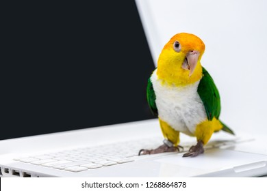 A curious exotic green and yellow parrot is standing on the keyboard of a computer