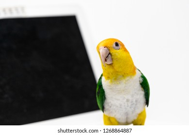 A curious exotic parrot is standing front of a laptop computer