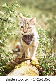 Curious explorer tabby cat in bandana walking in summer forest outdoor.
