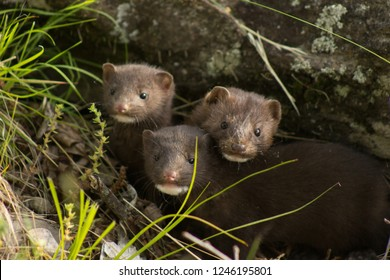 Curious family of minks