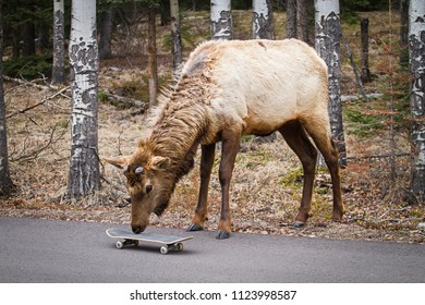 Curious female elk cow sniffing to skateboard in Jasper, Alberta, Canada. Wildlife encounter, cheeky, bold, funny, canadian, deer family, Cervus Canadensis, playful, coexistation, curiosity.