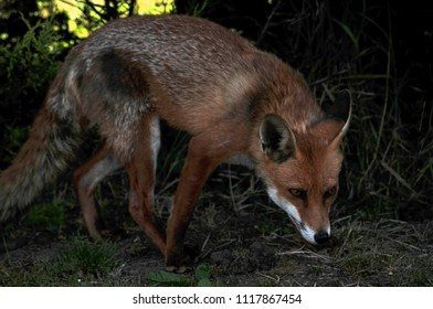 Curious Female Fox Vixen
