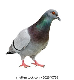 Curious Feral Pigeon isolated on white.