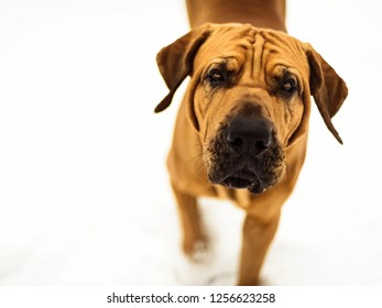 Curious Fila Brasileiro (Brazilian Mastiff) close-up portrait on white background, looking at the camera, approaching, winter scene