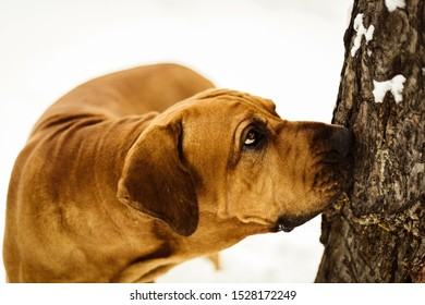 Curious Fila Brasileiro (Brazilian Mastiff) close-up portrait, looking up the tree