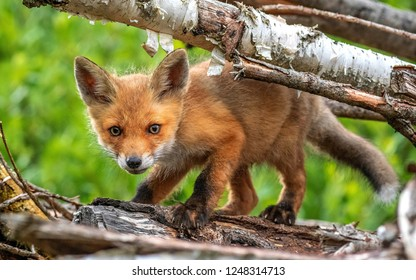 Curious Fox cub is looking at the camera.