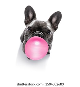 curious french bulldog dog looking up to owner waiting or sitting patient to play or go for a walk with  chewing bubble gum ,   isolated on white background