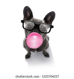 curious french bulldog dog looking up to owner waiting or sitting patient to play or go for a walk with  chewing bubble gum and reading sunglasses   isolated on white background