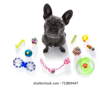 curious french bulldog  dog looking up to owner waiting or sitting patient to play or go for a walk,  isolated on white background, with a lot of pet toys
