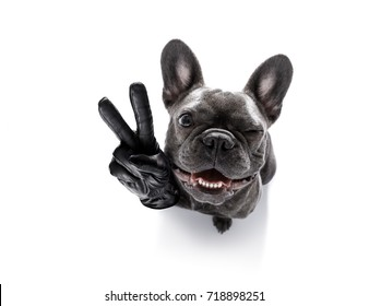 curious french bulldog dog looking up to owner waiting or sitting patient to play or go for a walk,with peace or victory fingers,  isolated on white background, one eye closed squinting