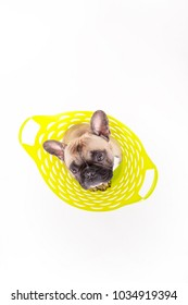 curious french bulldog sitting in a basket