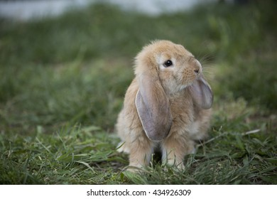 Curious French Lop Bunny Rabbit