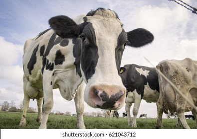 Curious friendly cow standing in the field with his friends