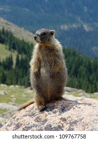 Curious and friendly Marmot at Rocky Mountain National Park