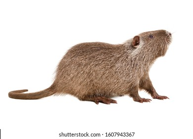 Curious funny nutria, side view, isolated on white background