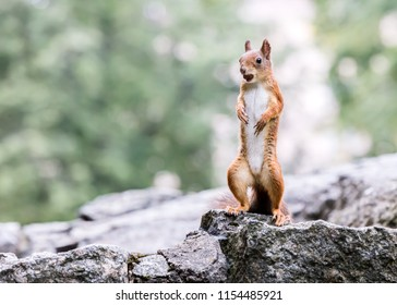 curious funny squirrel standing on big grey stone with nut in mouth