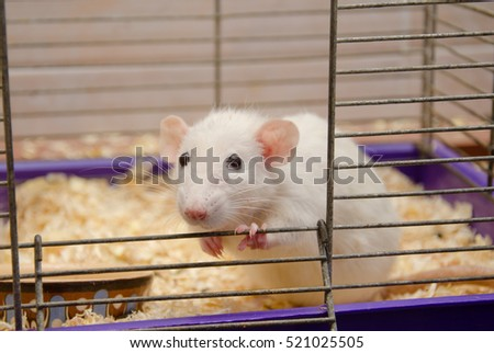 Curious funny white rat looking out of a cage (selective focus on the rat eyes and nose)