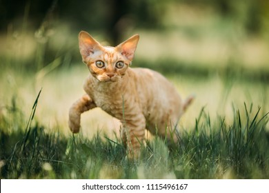 Curious Funny Young Red Ginger Devon Rex Kitten In Green Grass. Short-haired Cat Of English Breed.