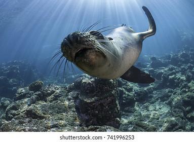 Curious galapagos sea lion, Santa Cruz Island, Galapagos Islands.