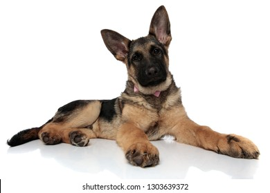 curious gentleman german shepard looks up to side while resting on white background