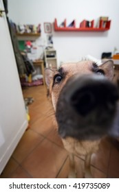 Curious German Shepard dog looking on camera. Wide angle close up portrait