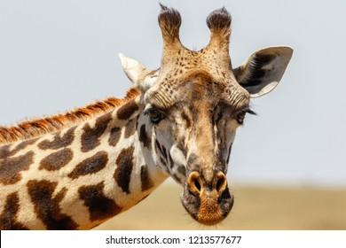 Curious Giraffe portrait on the savannah