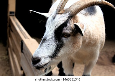 Curious goat peeking his head over the fence at a petting zoo
