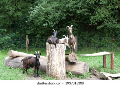 curious goats watching the people