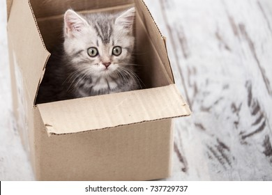 Curious gray kitten in cardboard box. Little cat at home. Small pet