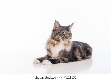 Curious Gray Maine Coon Cat Lying on White Desk with Reflection. White Background.