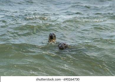 Curious Gray Seals