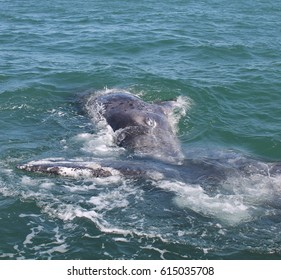 A curious gray whale approaching a boat in a Mexican lagoon