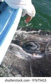 A curious Gray Whale comes directly under our boat in a lagoon in  Baja Mexico, so close you can see a reflection in its eye.