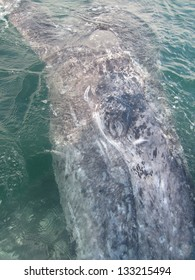 A curious gray whale swims under a boat in a sanctuary lagoon in Baja, Mexico