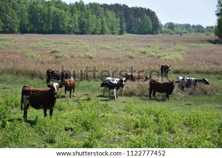 Curious grazing young cows in a wetland at the swedish island Oland