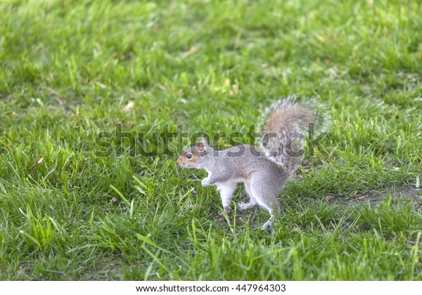 Curious grey squirrel in the park