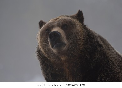 Curious Grizzly Bear