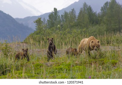 Curious grizzly bear sow with three spring cubs in high grass