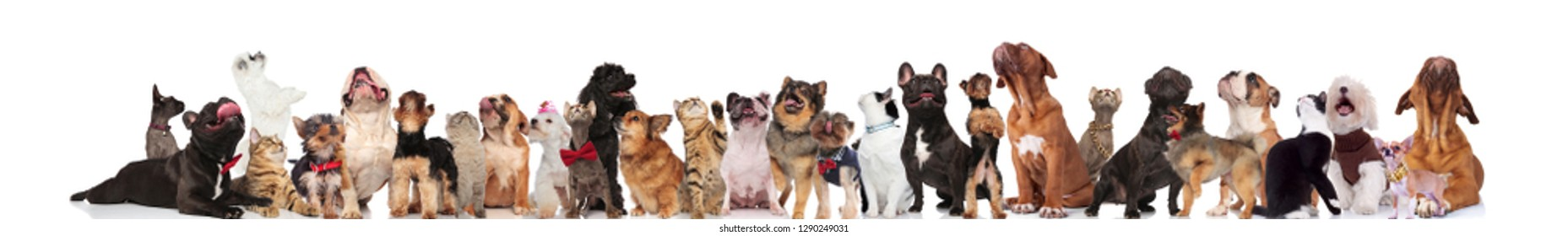 curious group of mixed pets wearing collars and bowties looking up while sitting and lying on white background