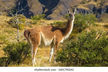 Curious guanaco in Chilean Patagonia