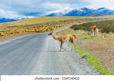 Curious guanaco lama (Lama guanicoe) on the road in Torres del Paine national Park in Chile