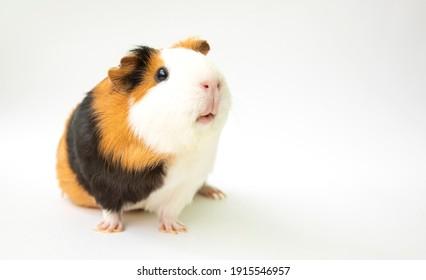 Curious guinea pig on white background, guinea pig cute portrait